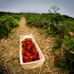 Erdbeeren selber pflücken